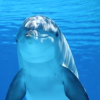 animal-bottlenose-dolphin-close-up-64219-compressor